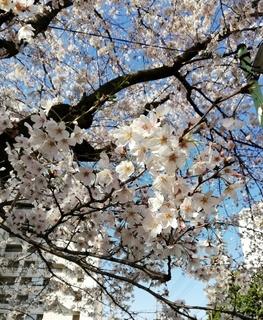 Sakura2020_3.jpg
